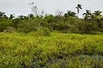 Capybara (Hydrochoerus hydrochaeris) swimming in marsh, Ibera Provincial Reserve, Ibera Wetlands, Argentina