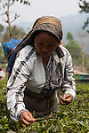 Fair trad pluckers harvest tea leaves in Ambootia, Darjeeling,