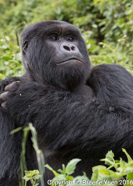 Gorilla Silverback Portrait1 Rwanda 2015