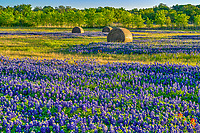 The morning light kiss this field of haybales with Texas bluebonnets and a pop of red from the sprinkling of indian paintbrush through out the field.  I don't think I had seen such a big field of haybales with Texas blueblonnets through out, it was a sight to see and the farmer gave us special permission to come on his property and photograph them which was even better. Cant get beater than this when it comes to Texas wildflowers with a rural texas setting in spring time.