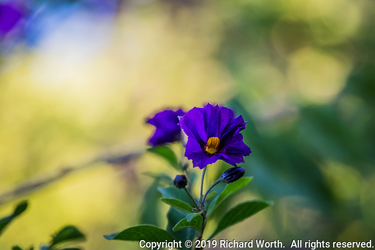 Purple flower with a yellow eye is one of the descriptions of the Royal Robe flower.  It is also known as Paraguay Nightshade and Blue Potato Bush.  Despite being related to the potato the entire plant is toxic to humans and animals.