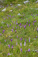 Bergwiese, Orchideenwiese, Alpenwiese, Blumenwiese, Orchideen, Alpen. mountain meadow, alpine meadow, alps, orchids