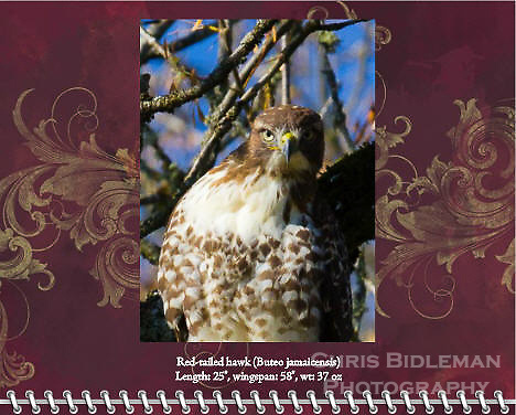 "November of the 2014 Birds of a Feather Calendar. Photo is called ""Hawk-eye Stare Down"".  A red-tailed hawk (Buteo jamaicensis) is in a tree staring directly at viewer in a high constrast photo with blue sky background through the trees."