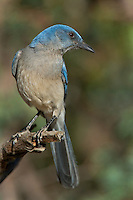 551130023 a wild  mexican jay alphelocoma wollweberi perches on a branch in madera canyon green valley arizona united states