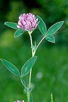 ZIGZAG CLOVER Trifolium medium (Fabaceae) Height to 50cm. Downy perennial of undisturbed grassy places. Similar to Red Clover but has zigzag stems. FLOWERS are reddish purple and borne in short-stalked heads that are 2-3cm across (May-Jul). FRUITS are concealed by calyx. LEAVES are trifoliate with narrow leaflets; stipules are not bristle-tipped. STATUS-Locally common, except in S.