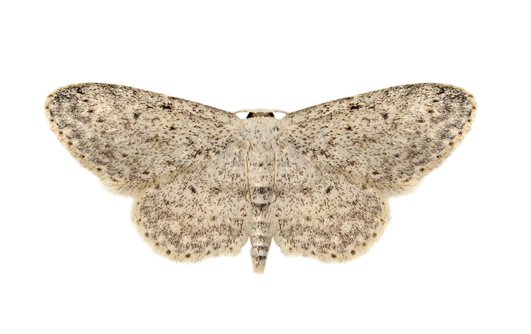 Small Dusty Wave Idaea seriata Wingspan 20mm. A small, pale moth that rests with its rather rounded wings held flat. Adult has whitish wings heavily dusted with extremely fine, dark dots; each wing has a larger, central dark spot. Double-brooded: flies June-July and August-September. Larva feeds on Ivy. Locally common throughout.