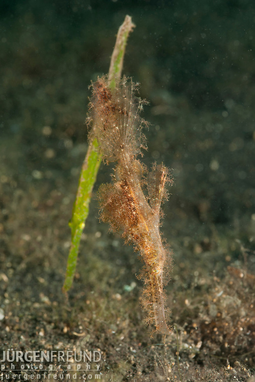 Robust ghost pipefish (Solenostomus cyanopterus) with a Hairy ghost pipefish (Solenostomus sp.)