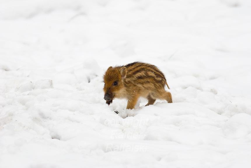 Germany, DEU, Arnsberg, 2005-Mar-07: A young wild boar (sus scrofa) in the snowy Wildwald Vosswinkel preserve.