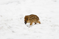 Germany, DEU, Arnsberg, 2005-Mar-07: A young wild boar (sus scrofa) in the snowy Wildwald Vosswinkel preserve.