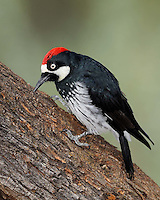 Acorn Woodpecker, Southeastern Arizona