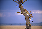 Cheetah climbs tree for a better vantage point of the savannah in Maasai Mara National Reserve, Kenya.