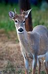 Deer near Hot Springs, Montana