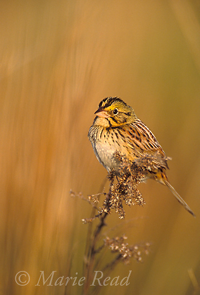 Henslow's Sparrow (Ammodramus henslowii), St. Clair County, Missouri. Endangered species.