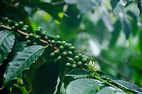 Green coffee cherries, Big Island
