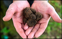 BNPS.co.uk (01202 558833)<br /> Pic: PhilYeomans/BNPS<br /> <br /> A lucky gardener is thought to have become the first person in Britain to stumble upon an abundant source of the prized black truffle - also known as 'chef's gold'. <br /> <br /> Sharp eyed Steve Fletcher (60) was digging around an oak tree at a secret location near Dawlish in Devon, when he discovered a potential goldmine of the edible fungi.<br /> <br /> The elusive ingredient is normally only found in wooded areas of France, Italy and Spain, and it's rarity, flavour and aroma make it extremely valuable, with prices reaching &pound;2000 a kilogram.<br /> <br /> Mr Fletcher is now keeping the exact location of his untapped source top secret to avoid any opportunistic foragers.  <br /> <br /> After his find he was unsure what to do so opened his Michelin Guide and contacted his nearest upmarket restaurant - Ode in Shaldon run by head chef Tim Bouget.