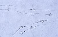 Amsel, Spur, Fußabdruck im Schnee, Fussabdruck, Trittsiegel, Fußspur, Vogelspur, Vogelfuß, Schwarzdrossel, Drossel, Turdus merula, Blackbird, Merle noir