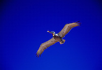 Brown Pelican bird in flight in clear blue sky, Galapagos Islands, Ecuador