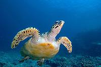 A Hawksbill turtle (Eretmochelys imbricata), Crystal rock (Batu mandi), Gili Lawalaut, Komodo, Flores sea, Indian Ocean, Indonesia, Asia