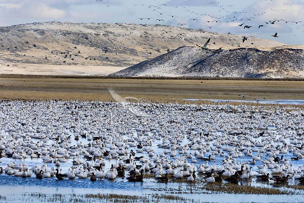 Snow Geese (Chen caerulescens) plus a few Greater White-fronted Geese, Lower Klamath NWR, Oregon/California.  Feb-March.
