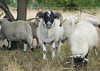 Mörfelden-Walldorf 15.07.2020: Schäferinnen mit Herde<br /> Leithammel und Schafe grasen im Gebiet zwischen den Ortsteilen von Mörfelden-Walldorf<br /> Foto: Vollformat/Marc Schüler, Schäfergasse 5, 65428 R'eim, Fon 0151/11654988, Bankverbindung KSKGG BLZ. 50852553 , KTO. 16003352. Alle Honorare zzgl. 7% MwSt.