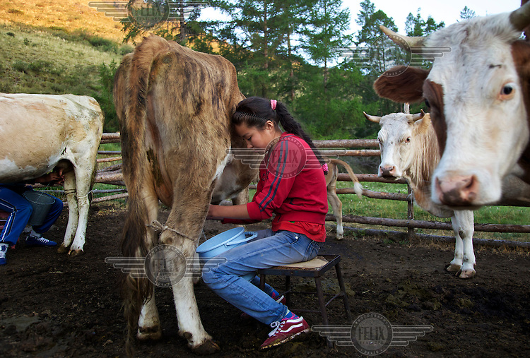 14 year old Tuvan girl Orlana milks a cow on the family farm near the vilage of Chodura.
