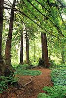 San Francisco Botanical Garden, Strybing Arboretum, Redwood Trail, mulch, path, sequoia