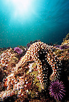 Santa Cruz Island, Channel Islands National Park and National Marine Sanctuary, California; a Giant Sea Star (Pisaster giganteus) sits with Purple Sea Urchins atop the rocky reef while a sun burst is visible through the water above , Copyright © Matthew Meier, matthewmeierphoto.com All Rights Reserved
