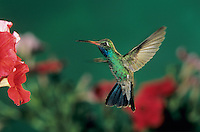 Broad-billed Hummingbird, Cynanthus latirostris,male feeding on Petunia, Madera Canyon, Arizona, USA, May 2005