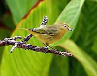 Adult female yellow warbler in fall migration