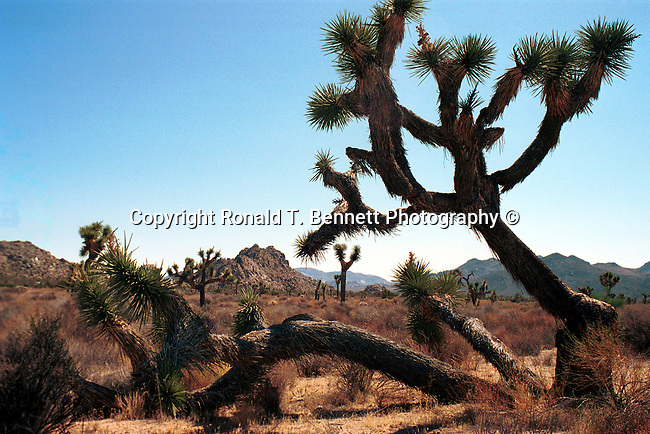 Yucca brevifolia Joshua Tree San Bernardino California, Yucca brevifolia, Joshua Tree National Park, West Coast of US, Golden State, 31st State, California, CA, Yucca brevifolia,  Joshua Tree California, West Coast of US,most populous US State, Fine Art Photography by Ron Bennett, Fine Art, Fine Art photography, Art Photography, Copyright RonBennettPhotography.com ©