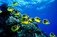The colorful Raccoon Butterflyfish ( Chaetodon lunula ) is a common sight on Hawaii's coral reefs.  Hawaiian name is ( kikakapu )