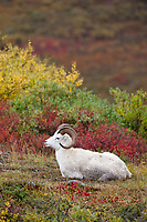 Dall sheep ram beds down in the brightly colored autumn tundra near Polychrome pass in Denali National Park, Alaska.
