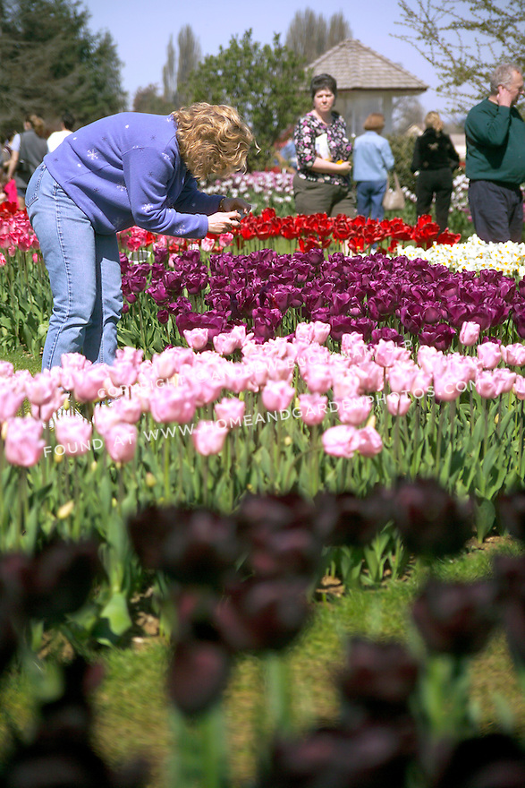 A visitor to commercial flower grower's display garden in Mt. Vernon, WA in the Skagit Valley of Washington state stops to photograph a massed springtime bed of tulips and daffodils planted in geometric shapes