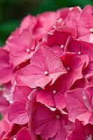 Hydrangea macrophylla Red Beauty flowers