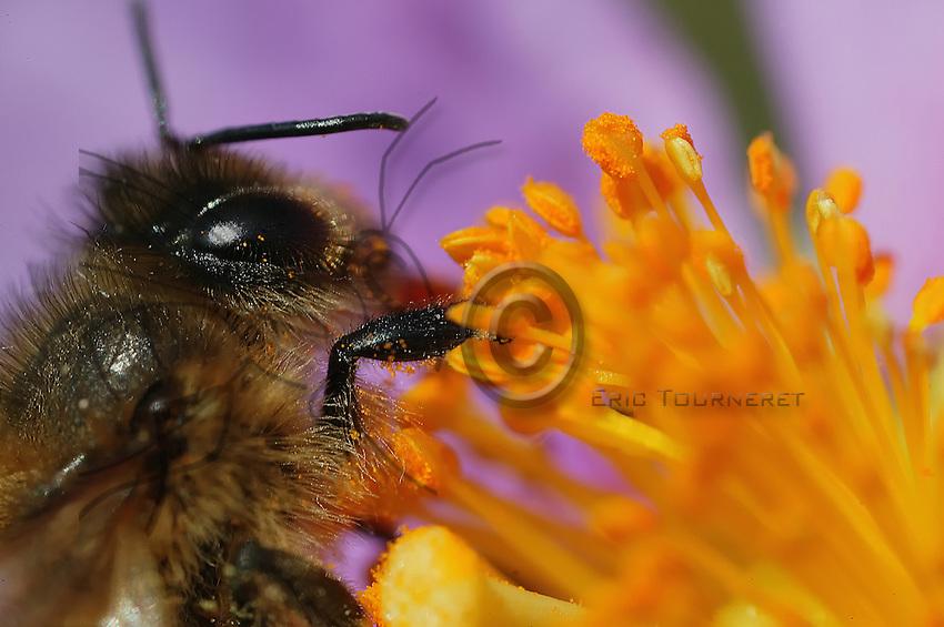 Abeille sur une fleur de ciste.