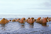 Walrus bulls (Odobenus rosmarus) along the Alaska Peninsula's Bering Sea coast.  Summer.