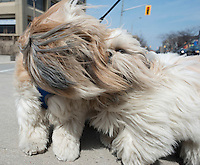 Somehow being blinded by a mass of blowing  hair didn't stop Eli and Ema from going for a windy walk in Sarnia. The two Shitzu dogs are owned by Linda Kapala, of Wyoming who was in Sarnia shopping and enjoying a walk along by the Sarnia Bay.
