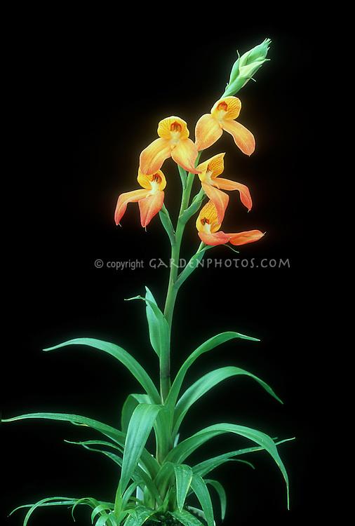 Disa Kirstenbosch Pride, Orchid hybrid