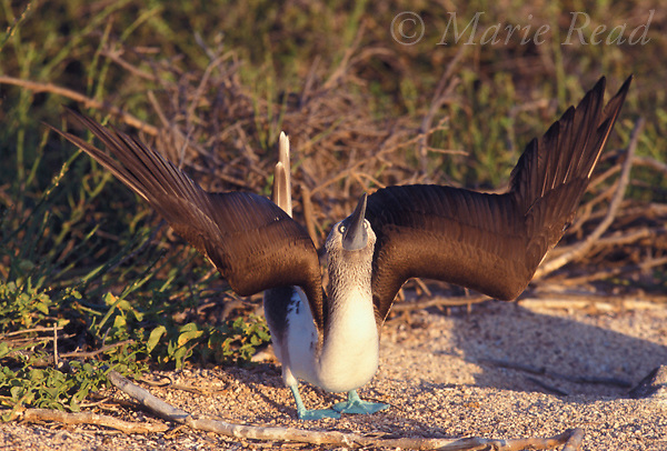Blue-footed Booby (Sula nebouxii excisa), performing sky-pointing courtship display, Seymour Island, Galapagos Islands, Ecuador<br /> Slide # B15-21