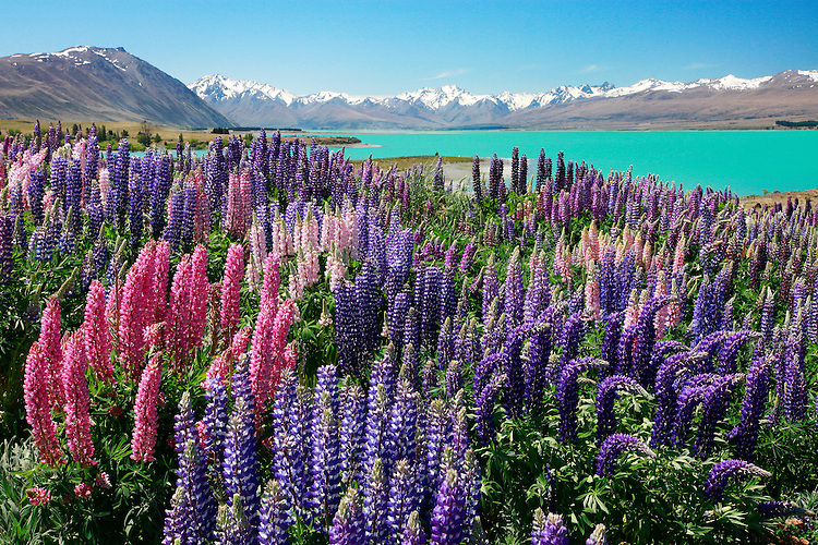Flowering lupins, Lake Tekapo, South Island, New Zealand - stock photo, canvas, fine art print
