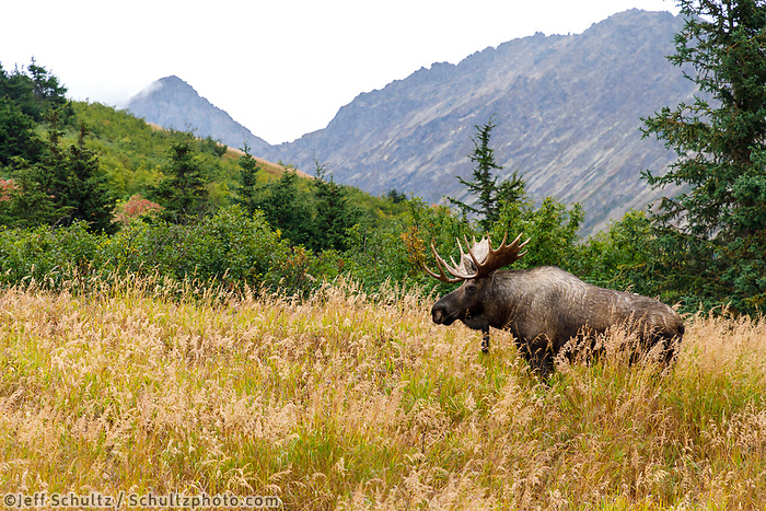 Fall landscape of Bull Moose in Powerline Pass area of Anchorage.<br /> <br /> <br /> Photo by Jeff Schultz/SchultzPhoto.com  (C) 2018  ALL RIGHTS RESERVED<br /> <br /> 2018 Bears, Glaciers and Fall Colors Photo tour/workshop