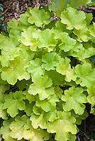 Heuchera Citronelle entire plant