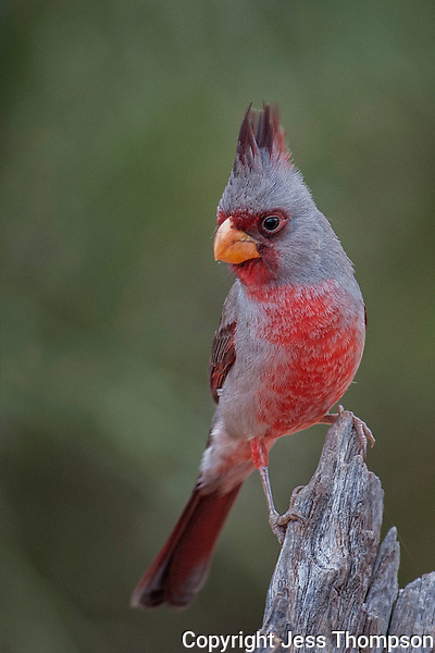 Pyrrhuloxia, Santa Clara Ranch, South Texas