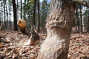 Beaver impact at Danville, New Hampshire Town Forest during the spring months