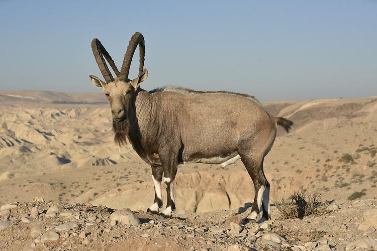 Nubian Ibex - Capra nubiana