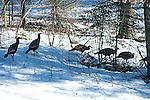 Wild Turkeys, Meleagris gallopava, feeding in winter