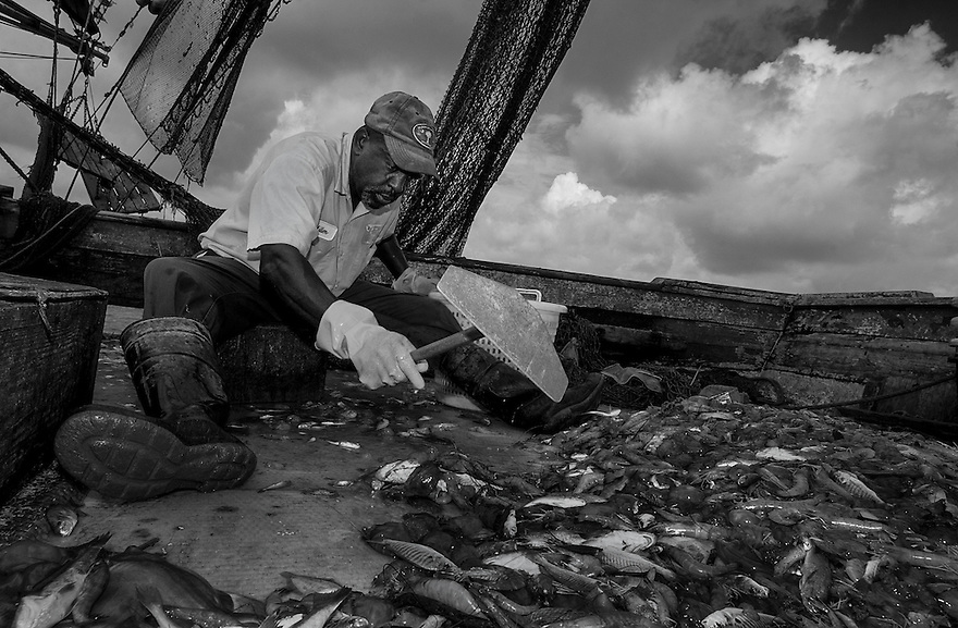 Shrimper Diogenese Miller sorts the shrimp from the rest of the marine life that is captured in the nets while fishing the waters off of Hilton Head Island, South Carolina. Shrimp prices are falling as more farm-raised shrimp are imported into the United States. As a result, domestic shrimpers must catch a few hundred pounds of shrimp just to cover their fuel costs.