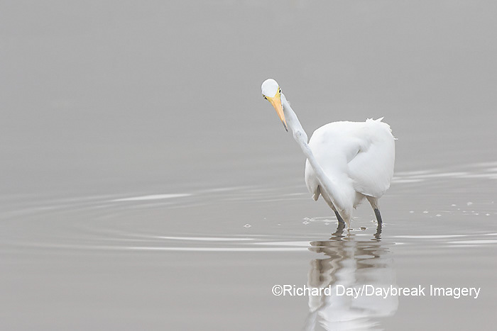 00688-02308 Great Egret (Ardea alba) in wetland in fog, Marion Co., IL