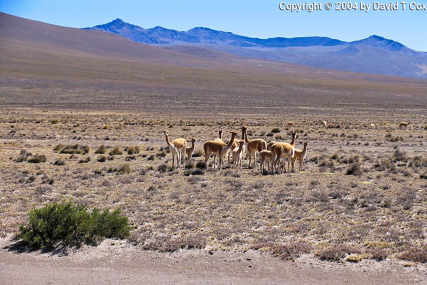 Vicunas, Pampas Canahuas Reserve, Arequipa to Colca, Peru