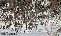 MA19-516z  Snowshoe Hare camouflaged in snow, Lepus americanus